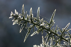 Another Gorse Stem (cazphoto.co.uk) Tags: winter cold leaves bokeh hoarfrost frosty backlit contrejour prickles gorse galleywoodcommon canoneos7d canon60mmefsf28usm
