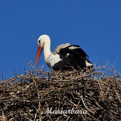 Perch non nascono pi bambini? (mariarbara) Tags: marocco nido rabat cicogna