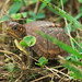 Young Three-toed Box Turtle