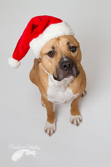Why are they making me wear this in January? (Penelope Malby Photography) Tags: rescue dog mastiff canine bailey needahome mastiffcross staffycross tanandwhitedog epsomcaninerescue