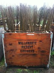 delivery box #1 grade Yamhill hazelnut (growing hazelnuts) Tags: farming treeroots filberts hazelnuts hazelnuttree filberttree nurserystock yearlingtree