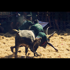 சல்லிகட்டு - The Bull Taming Sport @ Palamedu, Tamilnadu