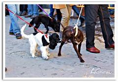 Ligando en el desfile (AGirau ...) Tags: flickr perros animales bichos sanantn ligando bendicin agirau