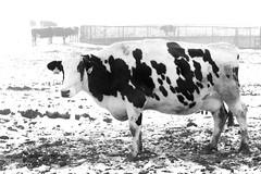 Day 23|366 - Cowmooflage (∞ RedLoop ∞) Tags: white snow black rain fog cow mud project366 cowmooflage ∞redloop∞ theateamrallyingforaurelia