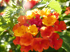 Lantana P1200448 ( RveOcan....) Tags: light red summer orange sun flower holland macro rot folhas luz sol nature fleur yellow jaune garden hojas rouge freedom licht soleil rojo estate lumire sommer laub laranja flor egypt jardin vermelho amarillo amarelo giallo zomer verano vero bunga sole t lantana fiore sonne rosso naranja vacations luce hallo arancione bloem matahari sfocato ineffable borroso lascia difusa lovebokeh afeastfortheeyes awesomeflowers thisismagic naturestyle jesuisvenuevousdire memoriesfromtheheart intoyourheart photossansfrontiresnopeople goodmorninghappiness 100photomacro friendsteam alittlebitofsoap flowers4you administratorsschool wwwphotoambiancecom amisphotographesdumondeentier favtopentry019faves