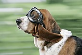DOG. Basset hound wearing goggles (love1962) Tags: dog pet pets dogs wearing speed outside mammal glasses movement funny action goggles hound expressions dressedup clothes domestic single basset mammals bassethound hounds breeds bassethounds bassets captionable