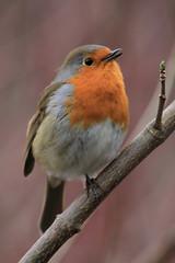 A Budding Singer (Chris*Bolton) Tags: ireland bird nature robin birds ngc glendalough singer perch wicklow avian redbreast birdwatcher topshots bej mywinners abigfave artofimages