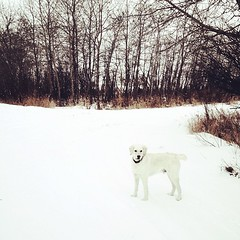 Our walk (Kim Klassen) Tags: snow square squareformat cuteness rise goldendoodle xoxo lovehim prairiewinter iphoneography instagramapp uploaded:by=instagram benonthetrail