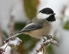 Wintery Chickadee (janruss) Tags: winter snow bird ngc npc chickadee blackcappedchickadee avian supershot specanimal avianexcellence janruss janinerussell magicunicornverybest magicunicornmasterpiece 5wonderwall sunrays5