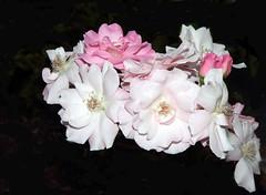 Roses (sandy richard) Tags: flowers usa gardens oregon portland unitedstates sandyrichard sandrarichard