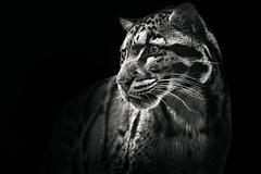 Clouded Leopard (Malcolm MacGregor) Tags: portrait blackandwhite cat zoo feline nashville leopard bigcat cloudedleopard thechallengefactory thepinnaclehof kanchenjungachallengewinner tphofweek137