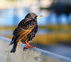 European Starling at Vancouver Granville Island (TOTORORO.RORO) Tags: light canada color reflection bird sunshine vancouver lens chair dof bc sam bokeh britishcolumbia sony 85mm falsecreek granvilleisland alpha manualfocus f28 hdr europeanstarling sturnusvulgaris nex greatervancouver nationalgeography mirrorless nex5 sal85f28 peakingmode