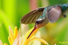 Close Up - A Rare White Eared Hummingbird (tinyfishy) Tags: white bird america flying inflight hummingbird central honduras roatan rare eared code3 whiteearedhummingbird