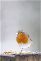 Robin - 11 (Dan Harrod) Tags: winter wild snow robin birds nikon heath hampstead hamstead d300 nikon70200mmf28vr