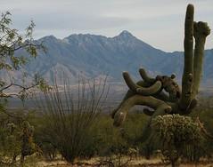 Saguaro Cactus (Carnegiea gigantea). (troupial) Tags: arizona saguaro sonorandesert cactuses saguarocactus arizonasonorandesert pimacounty pimacountyarizona