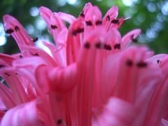 Attack Of The Shrimps! (Coquine!) Tags: pink brazil strange brasil riodejaneiro alien rosa jardimbotanico creatures botanicalgarden shrimps flamingoflower shrimpplant garnelen justiciacarnea christianleyk
