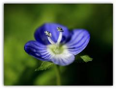 color del cielo ... (miriam ulivi) Tags: flowers nature fleur fiori vroniquedeperse occhidellamadonna birdeyespeedwell veronicacomune nikond7200 miriamulivi genovasantolcese parcodivillaserra