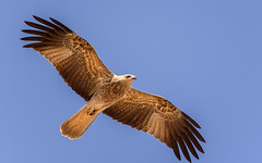 a whistling kite (Fat Burns  (gone bush)) Tags: kite bird fauna hawk raptor australianbird barcaldine haliastursphenurus whistlingkite australianfauna lagooncreek nikon8004000mmf4556 nikond750