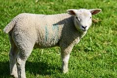 Little Poser. (Cycling Saint) Tags: sheep sthelens merseyside cranksthelens nikond750nikkor105f28vr