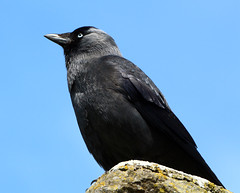 Jackdaw (Coolcats100) Tags: blue sky black bird castle stone wales canon pembroke sigma april crow 2016 jackdaw canon650d coolcats100
