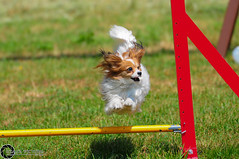 Wystawa_Świętojańska_2015-50 (Dominik Rząsa) Tags: show dog pet animal speed nikon outdoor agility tamron 70200 fci internationale fédération d300s cynologique