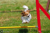 Wystawa_Świętojańska_2015-50 (Dominik Rząsa) Tags: show dog pet animal speed nikon outdoor agility tamron 70200 fci internationale fédération d300s cynologique