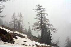Old larch trees in the mist (supersky77) Tags: mist alps primavera fog alpes spring alpen larch nebbia larice alpi aosta valledaosta larix larixdecidua subalpino montmars subalpline