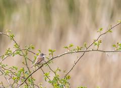 9Q6A0956 (2) (Alinbidford) Tags: swan muteswan greylaggoose whitethroat brandonmarsh alancurtis alinbidford