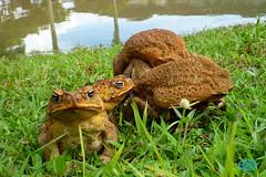 0807 P1010388 (JRmanNn) Tags: toads frogs guam
