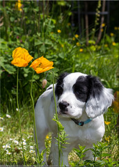 Puppy and Poppies (Boba Fett3) Tags: dog pet garden puppy poppies spaniel sprocker