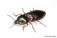 Selatosomus aeneus (Hynteismies) Tags: studio coleoptera sepp elateridae kovakuoriainen selatosomusaeneus sept metallisepp dettk pharju