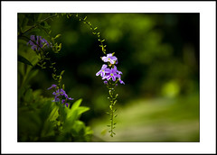 small purple flowers (e.nhan) Tags: light black flower green art nature closeup leaf colours shadows dof purple bokeh small backlighting enhan