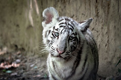 Bb tigre blanc (Lucille-bs) Tags: portrait france nature animal zoo europe centre tigre regard singe flin loiretcher sologne pelage beauval fantasticnature staignan tigreblanc bbtigre