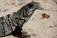 Guatemala - Naturaleza / Nature (Galeon Fotografia) Tags: animal guatemala iguana animale tier iguane tierwelt lagunagrande   hayop  galeonfotografa