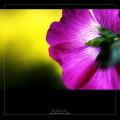 La cara opuesta (Julio_Castro) Tags: flowers plants naturaleza flores color nature colors petals nikon plantas desenfoque daf petalos nikond200 olétusfotos