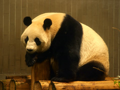 Returning to Ueno Zoo. (DameBoudicca) Tags: japan zoo tokyo panda ueno  nippon  zoolgico giantpanda tierpark  tiergarten nihon   uenozoo djurpark ailuropodamelanoleuca pandabr parquezoolgico giardinozoologico  parczoologique shinshin  jardinzoologique pandagigante jardnzoolgico onshiuenodbutsuen parcozoologico groserpanda pandagant   doubleniceshot tripleniceshot  ll
