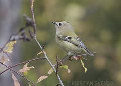 Goldcrest (Regulus regulus) (macronyx) Tags: bird nature birds wildlife birding aves regulus vogel oiseaux goldcrest fåglar kinglet regulusregulus kungsfågel