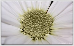 Delicate (Jenn's View) Tags: white flower nature flora nikon d70s petal stamen daisy hdr selective hfg