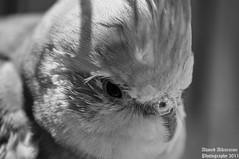 B&W (cool disel) Tags: b bw white black bird up closeup close w ups closeups cocatiel