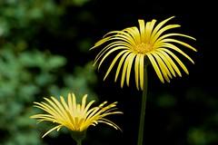 An elegant pair (Deb Jones1) Tags: flowers flower macro green nature beauty yellow canon garden outdoors 1 jones flora explore bloom blooms deb flickrduel