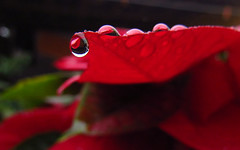 Reflejo (Naiknat) Tags: christmas red flower macro mxico canon flor drop powershot reflejo veracruz nochebuena xalapa gotadeagua enfoque naiknatt