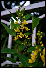 yellow (faNiLooNg) Tags: flowers photographer loong fani tausug