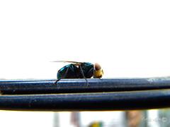 Mosca Varejeira (TevoMota) Tags: macro brasil sony bullseye es mota dsc mosca santo espírito lightroom pinheiros varejeira estêvão hx1 tevomota