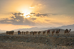 Salt caravans to Lake Assale (Thierry Hennet) Tags: sunlight man zeiss landscape evening desert african sony salt scenic camel filter caravan traveling tradition ethiopia cloudysky greatriftvalley a900 neutraldensity graduatednd danakil hottemperature cz2470mmf28