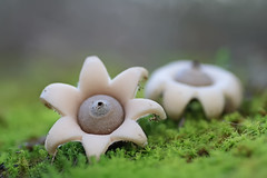 """Geastrum minimum"" (carlespoveda) Tags: macro nature mushroom fungi bosque fungus seta hongo champion bolet geastrumminimum"
