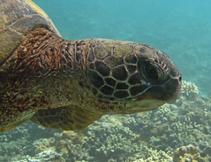 portrait (bluewavechris) Tags: ocean life sea eye nature water animal coral canon hawaii marine underwater turtle reptile wildlife shell maui scales creature flipper