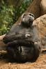 What should I do... (Terry Demczuk) Tags: ontario canada canon eos gorilla xs torontozoo terrydemczuk zoologicodetoronto