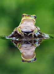 Hyla arborea (Filipe Caetano) Tags: macro reflection verde green art portugal nature water animal animals água espelho photography mirror photo eyes nikon foto arte photos wildlife natureza amphibian olhos frog fotografia amphibians animais reflexo rã vidaselvagem portalegre rela anfíbio anfíbios