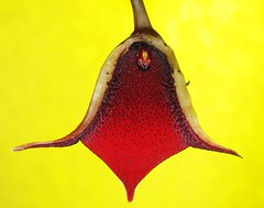 Huernia pendula flower cross section (hydrosuccess) Tags: stapelia huernia