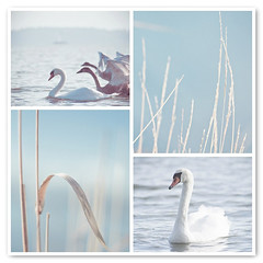 Serenity Of Swans (JoyHey) Tags: blue sea copyright white cute art reed vintage photography swan soft sweet pastel joy dream peaceful wave happiness calm retro fantasy serenity breeze allrightsreserved joyhey wwwjoyheycom